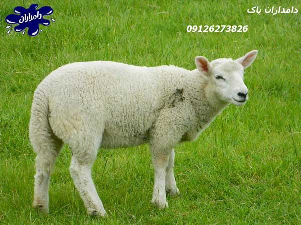 متوسط وزن گوسفند زنده
