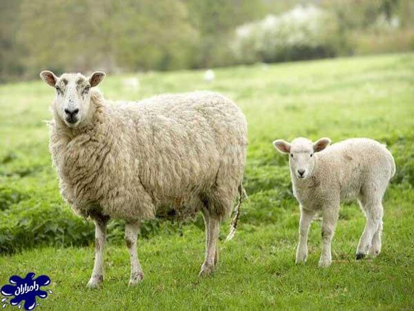 چرای گوسفند زنده