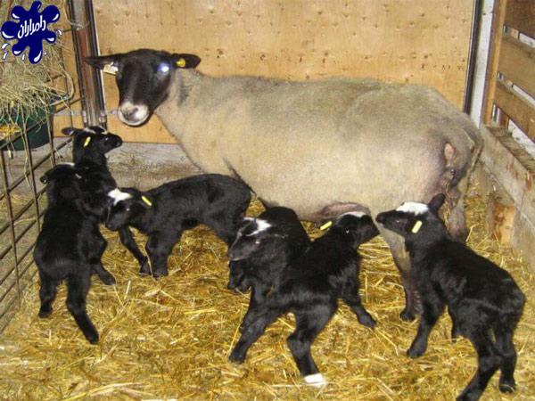چگونگی دوقلوزایی در گوسفند زنده