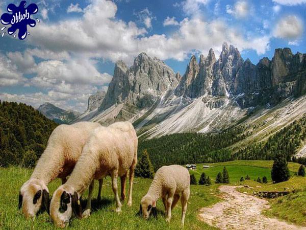 گوشت گوسفند مناسب رستوران|دامداران پاک