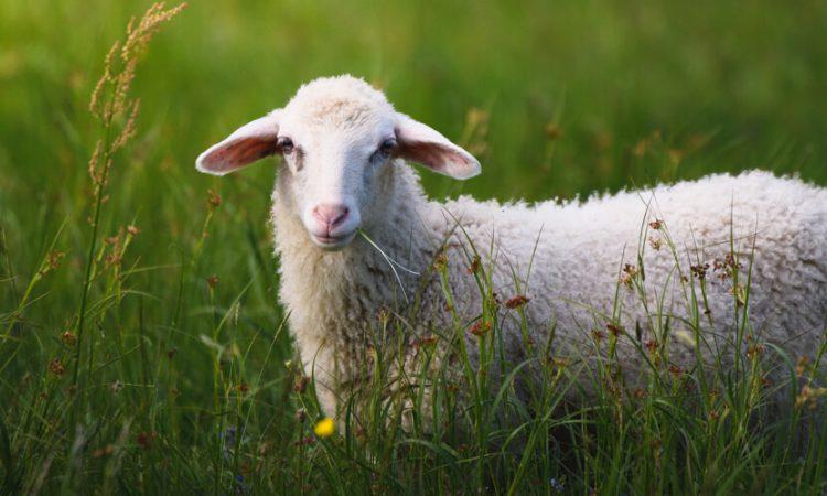 بیماری ذات الریه در گوسفند زنده|دامداران پاک