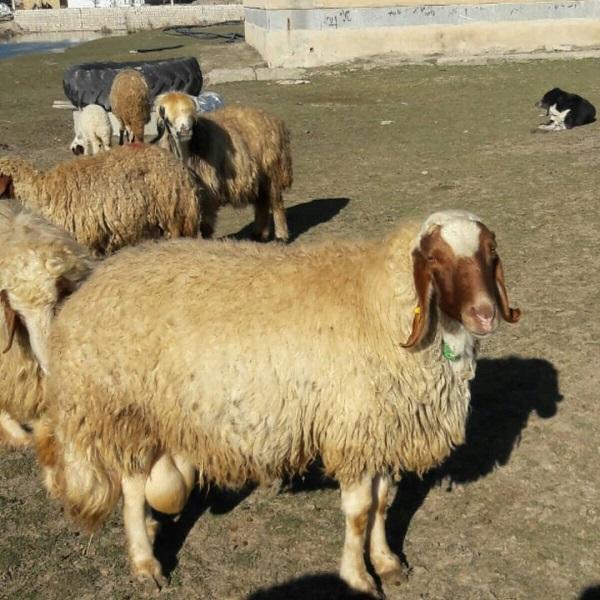 گوسفند نژاد سنجابی
