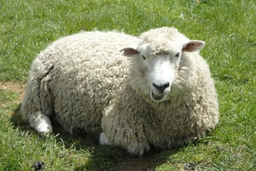 نفخ گوسفند زنده