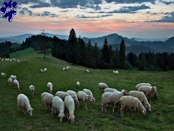 مهمترین نکات دامپروری گوسفند زنده