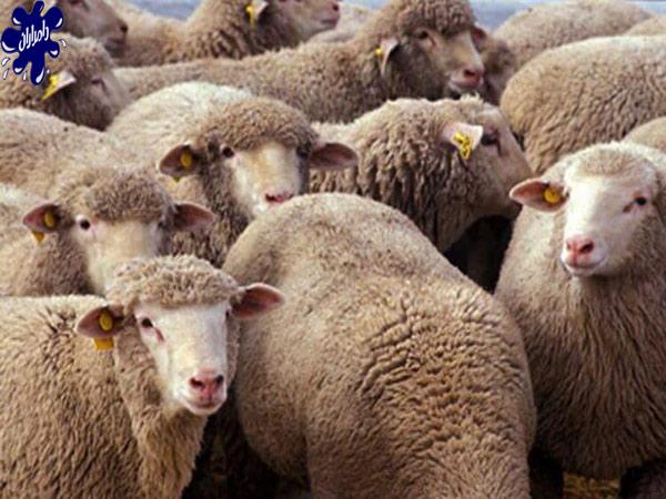 ویژگی و کاربرد های پشم گوسفند|دامداران پاک