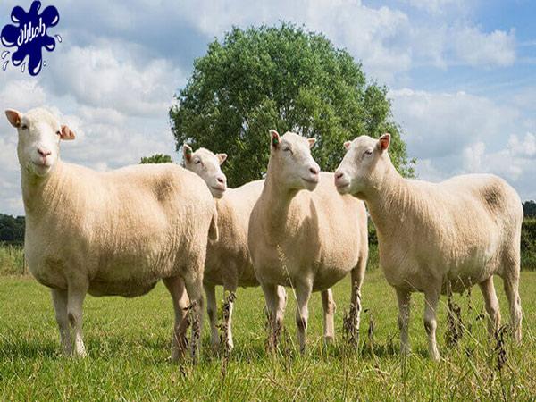 چرای گوسفند زنده|دامداران پاک