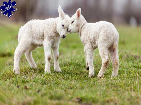 بهترین نژادهای گوسفندان در ایران