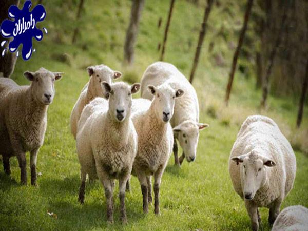 بهترین زمان برای چرای گوسفند زنده|دامداران پاک
