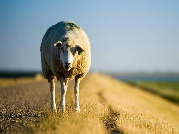 نژادهای گوسفندان