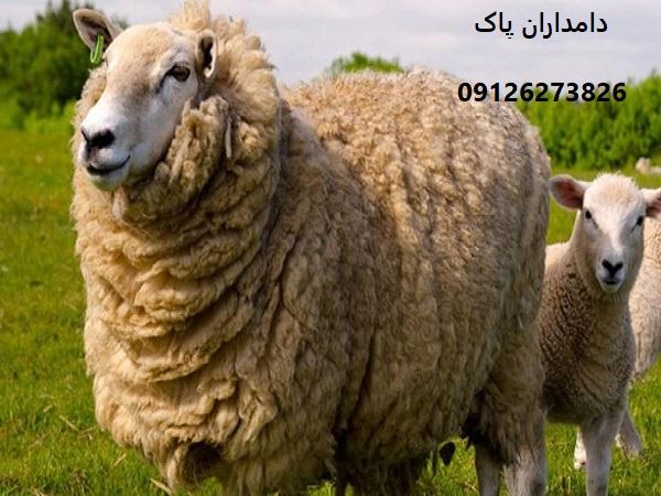 بیماری سیاه زخم در گوسفند