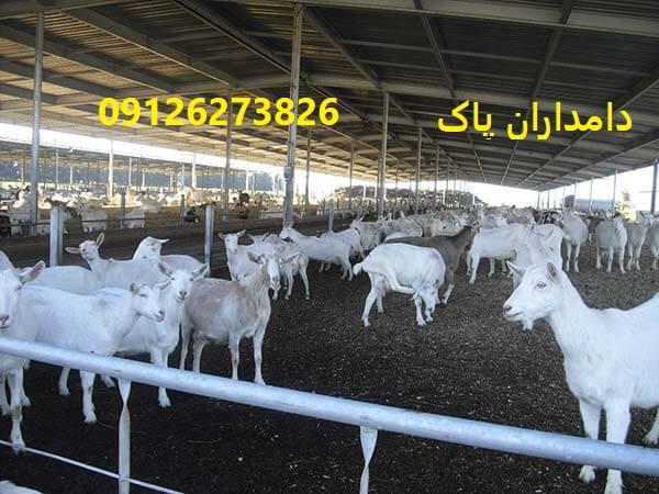 جایگاه مناسب برای گوسفند زنه