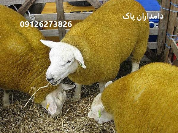گوسفند نژاد دولان