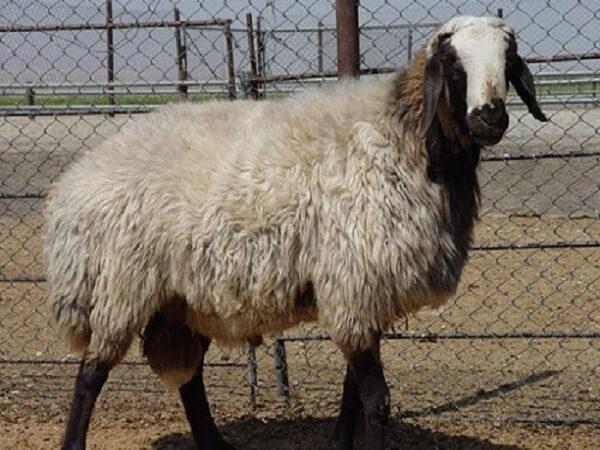 گوسفند نژاد مغان