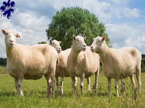 معرفی نژاد گوسفند مهربان – قیمت روز گوسفند مهربان