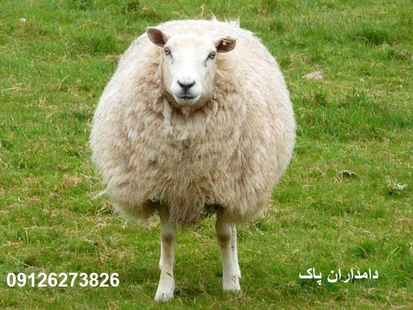 گوسفند افشاری اصیل|دامداران پاک