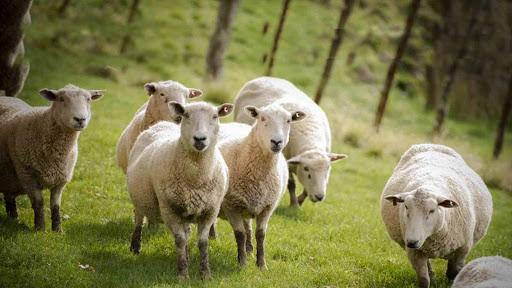 ۱۵ حقیقت جالب درباره گوسفند زنده|دامداران پاک