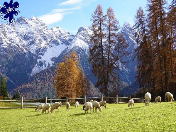 متوسط وزن گوسفند زنده|دامدارن پاک