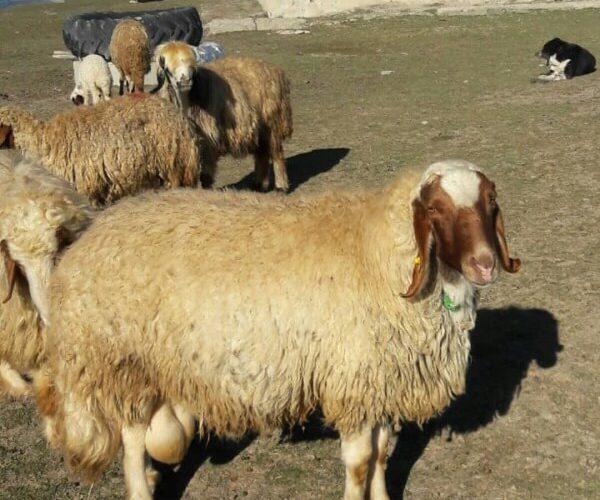 گوسفند نژاد بلتکس