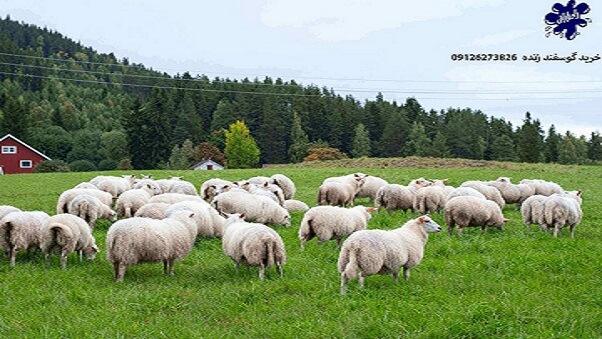 راه های پیشگیری و درمان نفخ گوسفندان زنده| دامداران پاک