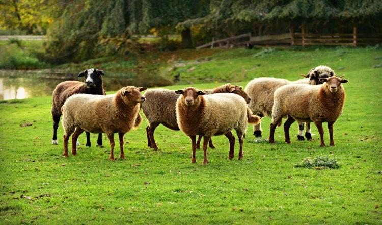 معرفی نژاد گوسفند فشندی|دامداران پاک