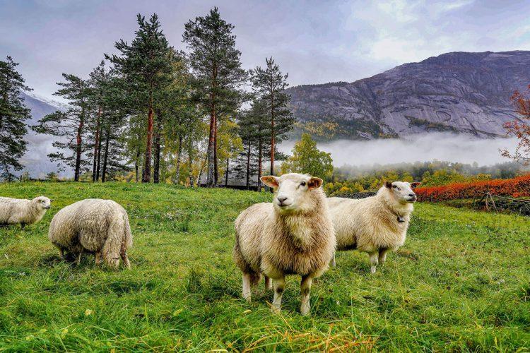 جایگاه گوسفند