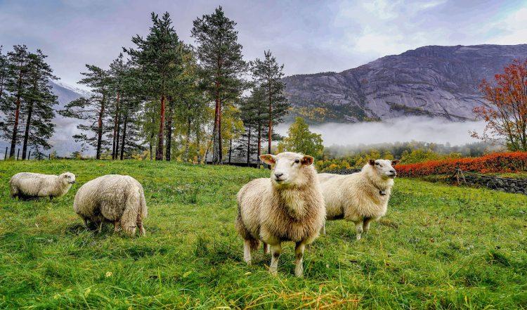 جایگاه مناسب برای نگهداری گوسفند زنده