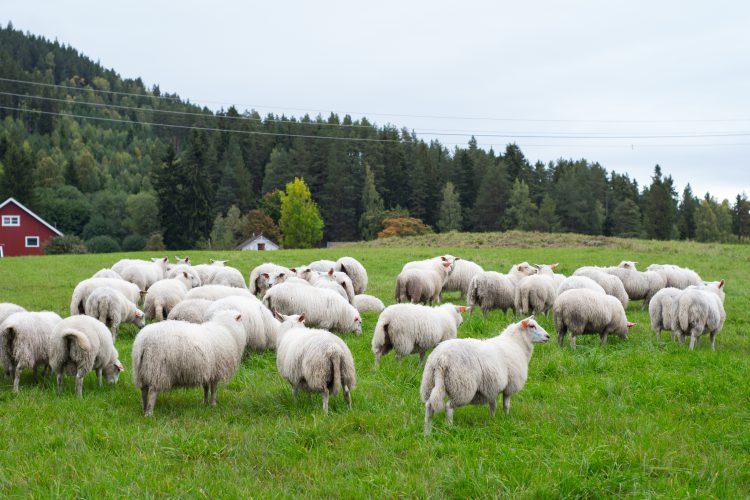 نحوه انتخاب گوسفند سالم
