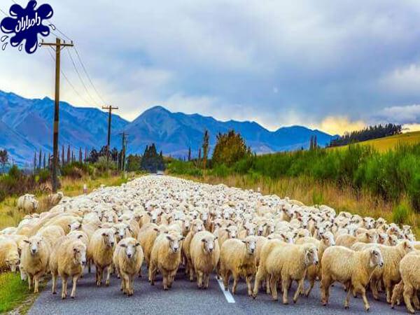 نحوه انتخاب و خرید گوسفند سالم