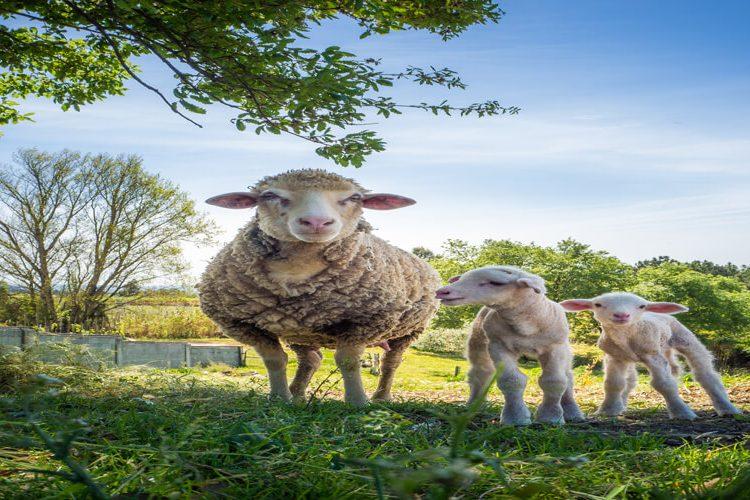 اصلاح نژاد گوسفند