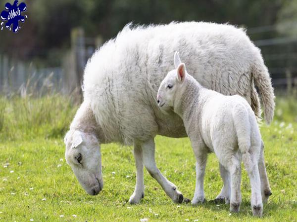 تشخیص سلامت گوسفند