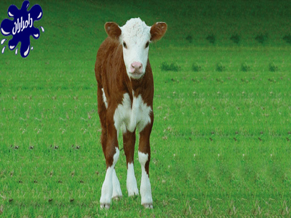 چگونه از گوساله های تازه متولد شده مراقبت کنیم؟