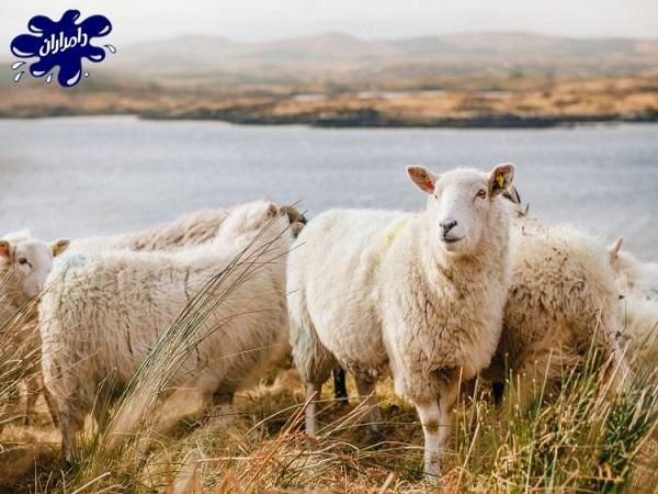 مواد قابل استفاده در تغذیه گوسفند پرواری