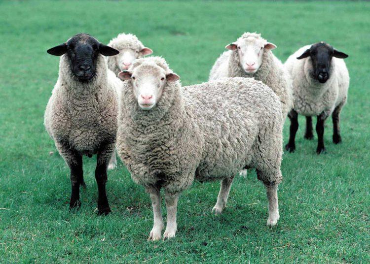 اصلاح نژاد گوسفند زنده