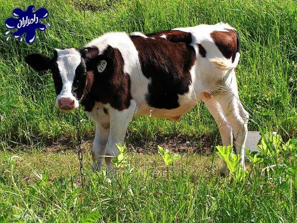 پرواربندی گوساله زنده