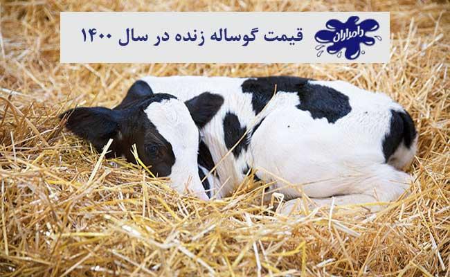 قیمت گوساله زنده