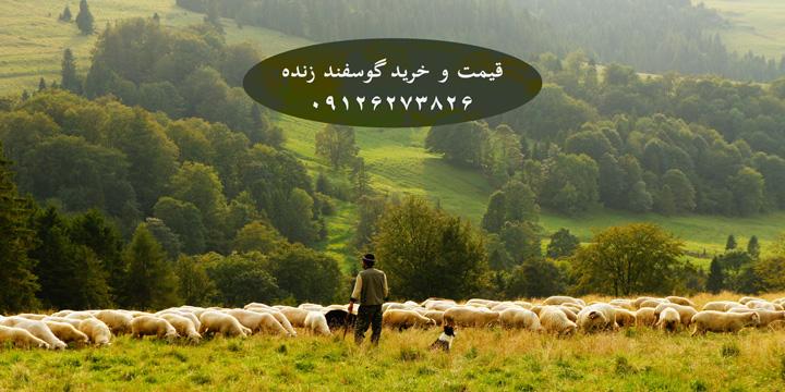 قیمت خرید گوسفند زنده